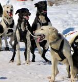 4 chiens prêts à partir