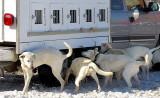 les chiens blancs