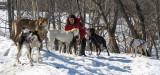 musher entouré de ses chiens