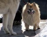 chien de Poméranie