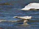 L'oiseau iceberg