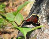 papillon des bois