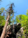 les arbres enrochés