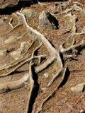 les racines du sentier