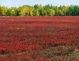 les champs de bleuets en octobre, St-Méthode