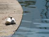 cygne d'étang