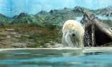 L'ours blanc s'ébrouant