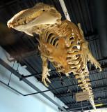 squelette de Béluga
