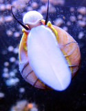 Gastéropode marin