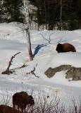 Les bisons de La Pocatière