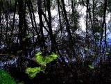 les algues de surface