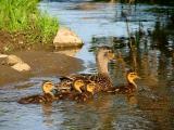 Maman canard et ses canetons