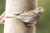 Cassin's Finch  (female, summer)