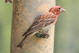 Cassin's Finch  (adult male, summer)