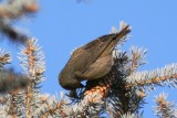 Red Crossbill (adult female)