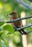 Red Crossbill (first spring male)