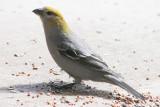 Pine Gosbeak (female)