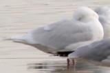 Iceland Gulls in Larimer County, Colorado