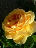 My rose galleries