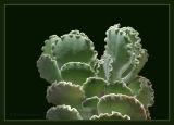 Cotyledon undulata.