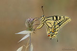 Papilio Machaon Syriacus.