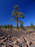 Huge Jeffrey Pine in lava flow near trailhead