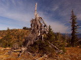 Ancient foxtail pine monarch is still alive