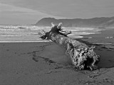 Storm casualty on Pistol River Beach bw