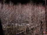 Red Alders along Grider Creek