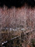 Red Alders along Grider Creek