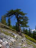 Big Jefferey pine and small dog along PCT