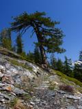 Big Jefferey pine along PCT