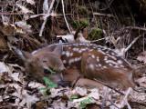 Newborn fawn waits for mom