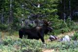 Bull moose in the Uintas