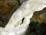 Puppy Falls Chinook Salmon