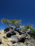 Ancient wind scupltured whitebark pine on Mt McLoughlin