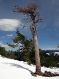 Ancient tree dies in 2010