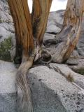 Whitebark Pine sculpture at Three Island Lake