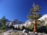 Foxtail Pine near Rae Lakes