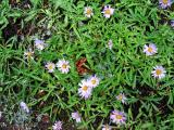 Trailside flowers on JMT in Yosemite National Park
