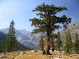 Foxtail Pine on Muir trail near Dollar Lake