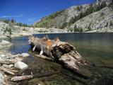 Old growth hemlock carried down from high by avalanche into Papoose lake