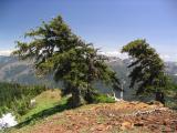 Foxtail pine monarchs on Box Camp Mtn