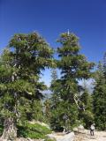Ancient Foxtail pines near Wildcat Peak