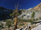 Ancient Whitebark pine in McGee Lake basin