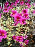 Dwarf monkey flower (Mimulus nanus)