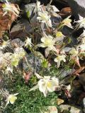 Coville's columbine (Aquilegia pubescens) in Sierra
