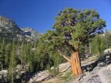Mountain juniper in Ansel Adams wilderness