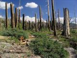 Burned forest near Devil's Postpile