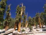 Foxtail pine stand in Sequoia National Park